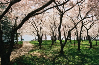 under the cherry blossoms.jpg